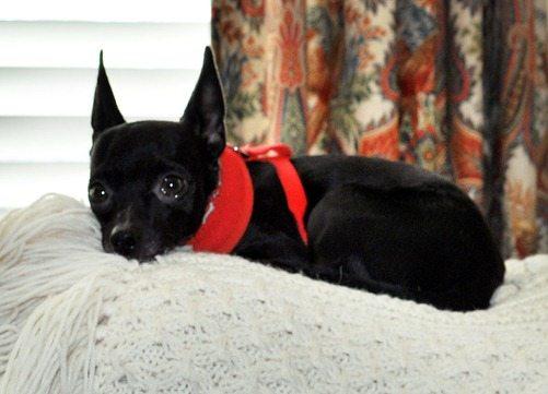 batman dog