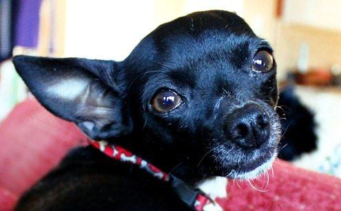 one ear dog